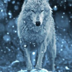 Image of a wolf in its natural surroundings in winter, used to depict the idea of a 'lone wolf' in an article about CAT Coaching Institutes